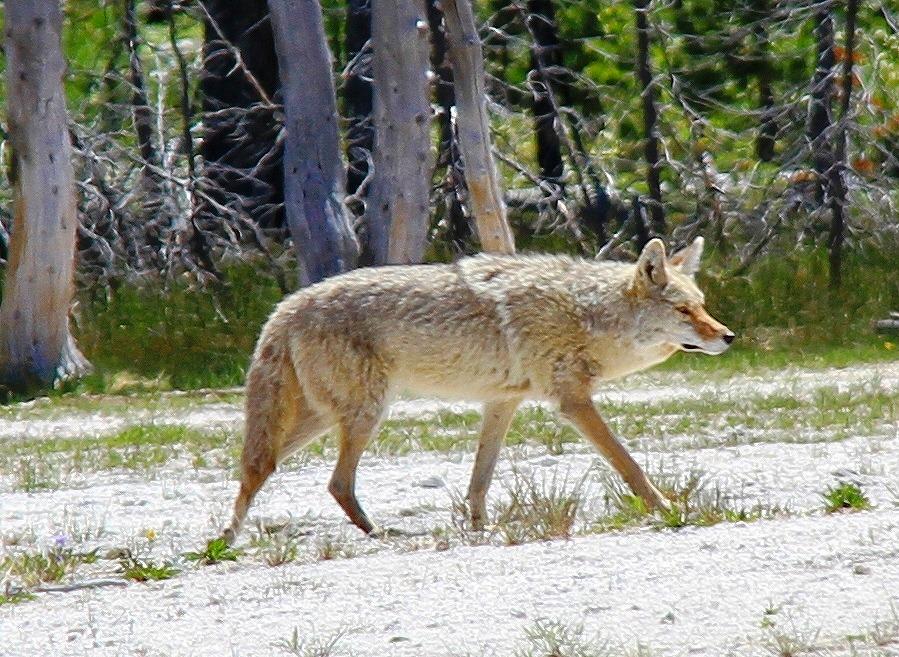 120621_7410-1 灰色オオカミ